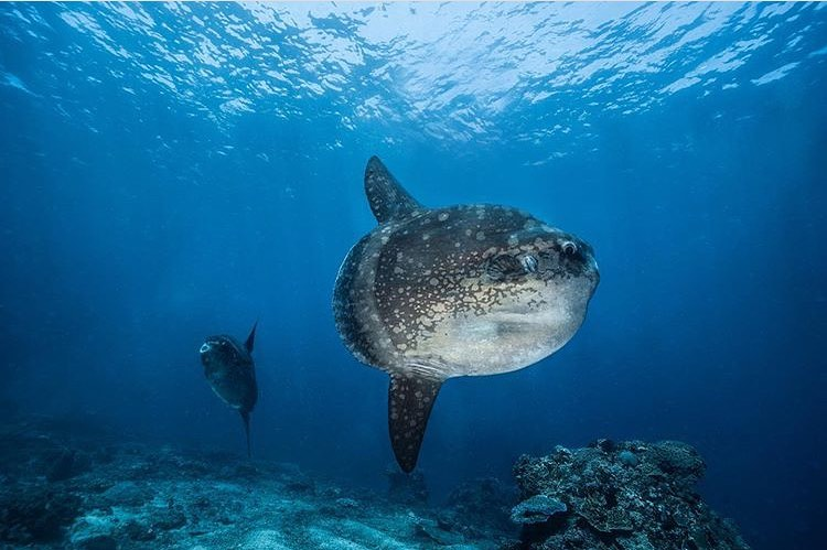 How to Behave around Mola Mola Bali